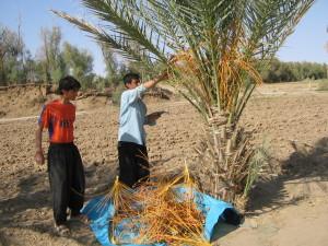 نخلستانهای روستای مصر
